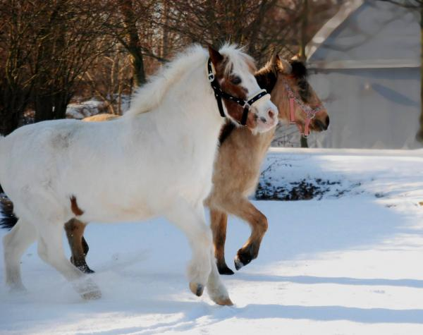 Dva poníci, kteří jsou v kolínských stájích Václav, se jmenují Nony a Gejša. Jednoho z nich bude možné vyhrát na sobotním Jezdeckém plese